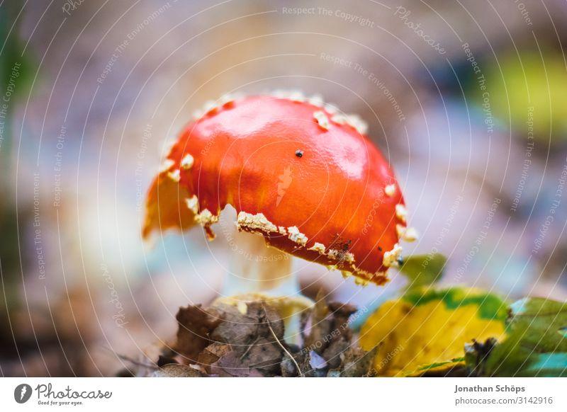 roter giftiger Fliegenpilz Makro Außenaufnahme Jahreszeit Outdoor herbst natur giftiger Pilz Warnfarbe Natur Herbst Pflanze Farbfoto Gift Wald Menschenleer