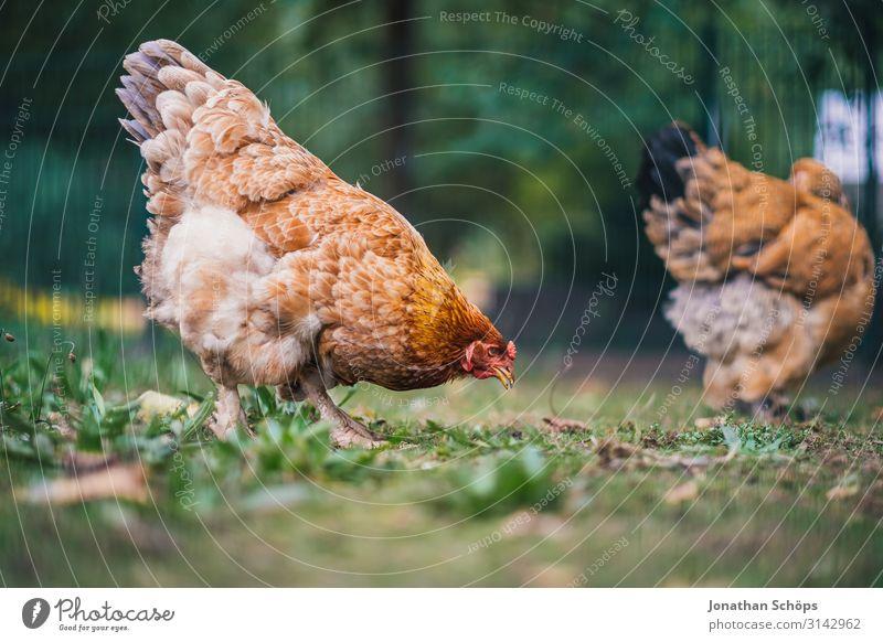 Huhn pickt nach Futter auf dem Boden Außenaufnahme Jahreszeit Outdoor herbst natur Tier Tierschutz Geflügel freilebend Freilandhaltung Tierporträt Farbfoto