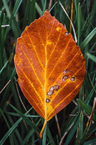 braunes Herbstblatt Makro auf Wiese Umwelt Natur Garten Park Wald grün orange Jahreszeiten alt Herbstlaub herbstlich Herbstfärbung Herbstbeginn Herbstwald Blatt