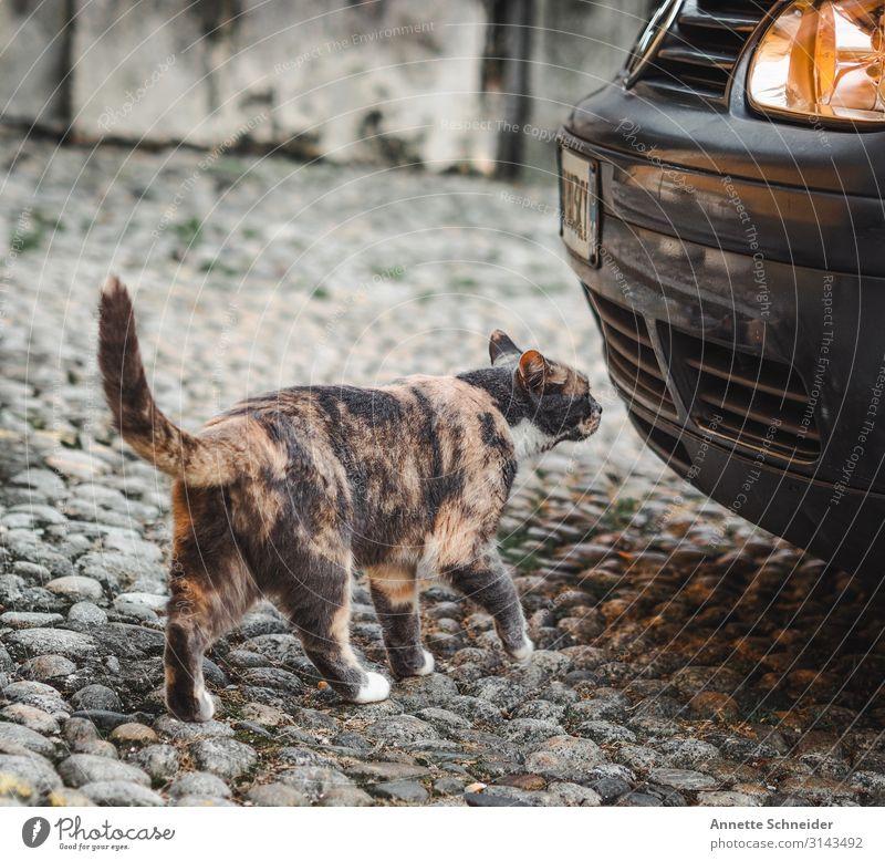 Streetcat Katze Tier schwarz gelb braun PKW Haustier silber