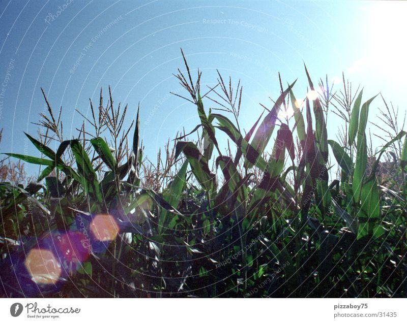 september Kornfeld Feld Sommer September Maisfeld Sonne Landschaft Amerika Cornfield Sunshine
