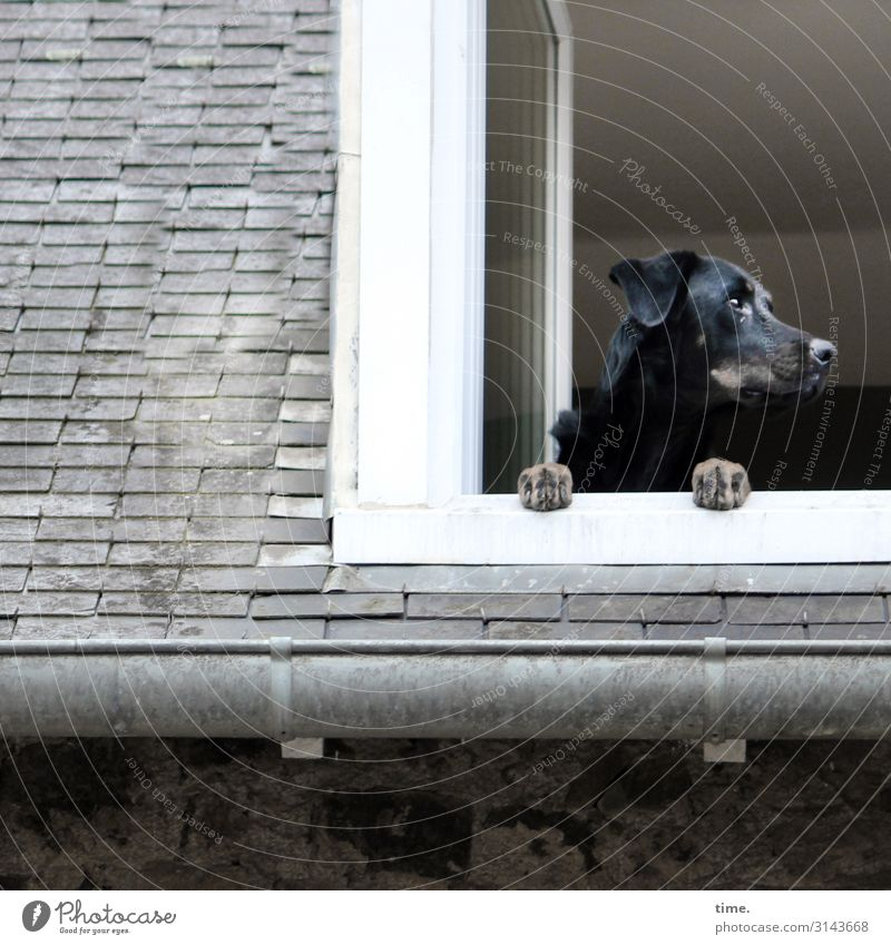 Hausarrest Dach Dachrinne Dachfenster Tier Haustier Hund 1 beobachten festhalten Blick warten selbstbewußt Willensstärke Leidenschaft Wachsamkeit Leben Ausdauer