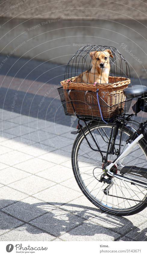 Rausfallsperre Fahrradfahren Straße Wege & Pfade Korb Gepäckablage gefangen Blick Blick in die Kamera Tier Haustier Hund 1 beobachten sitzen Sicherheit Schutz