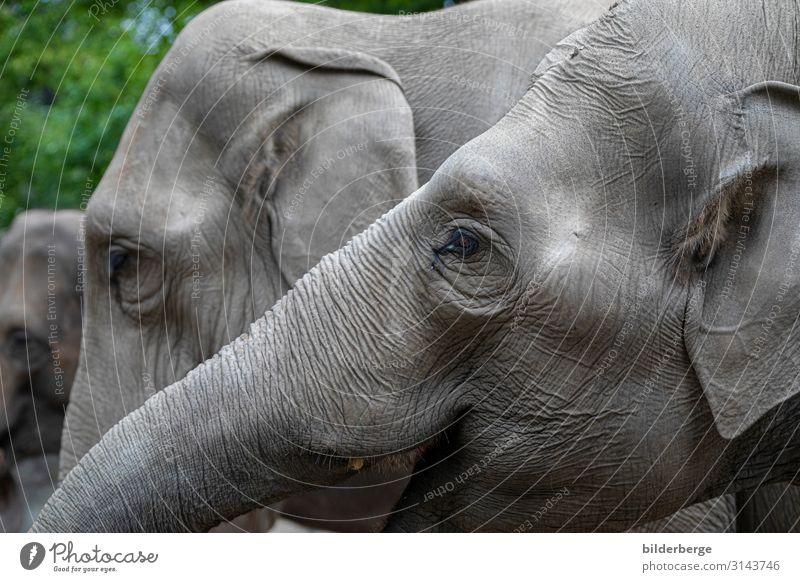 Elefantenköpfe Familie & Verwandtschaft Zoo Tier grau Farblos Pflanzenfresser Säugetier Ungesättigt Tierpark Hagenbeck Hamburg Auge Ohr Rüssel Farbfoto