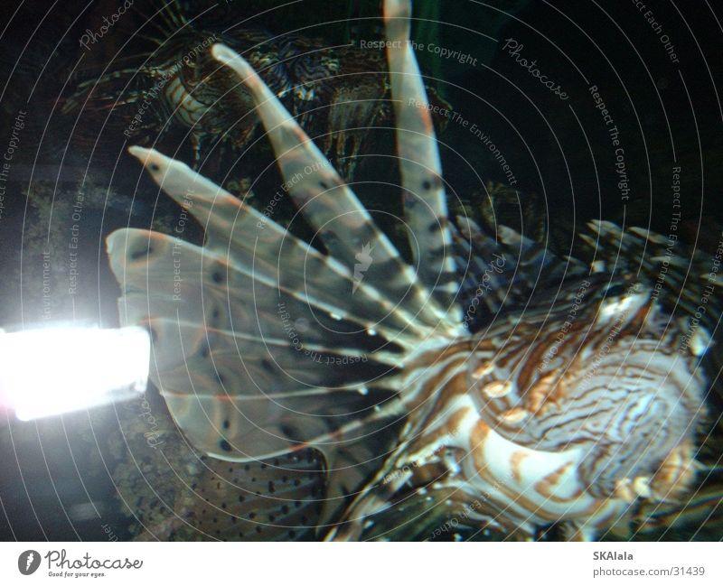 Rotfeuerfisch Wasser Meer Fisch Zoo Aquarium Meerwasser