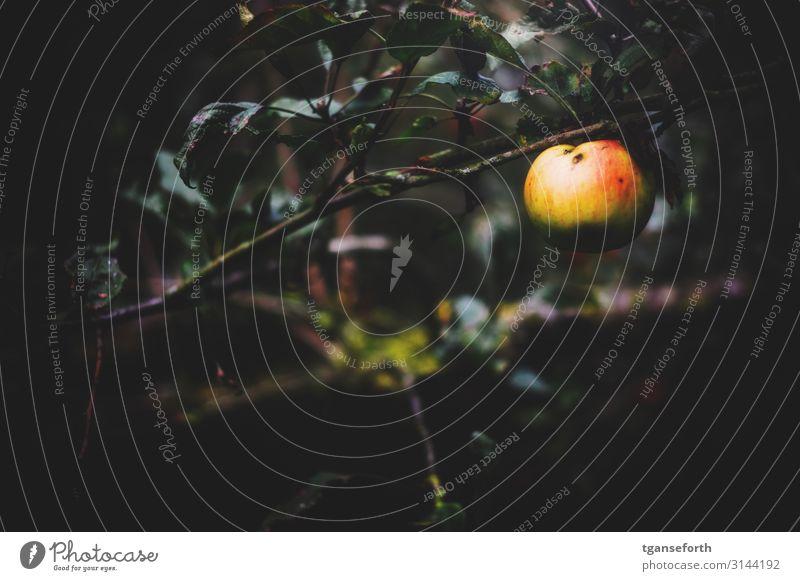 Apfel im Herbst Lebensmittel Frucht Ernährung Bioprodukte Vegetarische Ernährung Gesunde Ernährung Gartenarbeit Natur Pflanze Baum Nutzpflanze Apfelbaum Diät