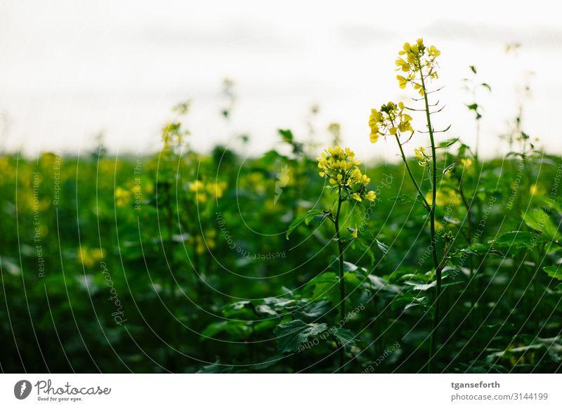 Raps im Licht Landwirtschaft Forstwirtschaft Umwelt Natur Landschaft Pflanze Herbst Blume Blatt Blüte Nutzpflanze Rapsfeld Rapsblüte Rapsanbau Feld Blühend Duft