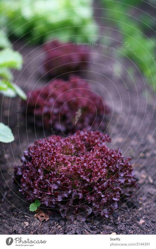 lollo rosso Lebensmittel Gemüse Salat Salatbeilage Lollo rosso Blattsalat Salatblatt Ernährung Bioprodukte Vegetarische Ernährung Diät Vegane Ernährung