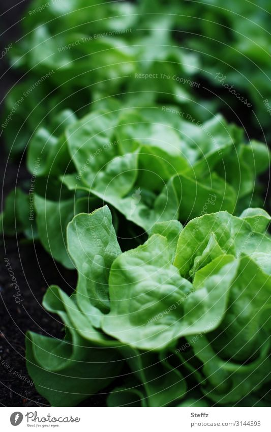 Salat ohne Dressing Lebensmittel Gemüse Salatbeilage Kopfsalat Blattsalat Salatblatt Ernährung Bioprodukte Vegetarische Ernährung Vegane Ernährung