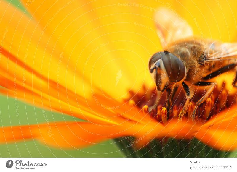 Sommergefühl Umwelt Natur Schönes Wetter Pflanze Blume Blüte Blütenblatt Sommerblumen Ringelblume Garten Fliege Schwebfliege Insekt Facettenauge natürlich Wärme