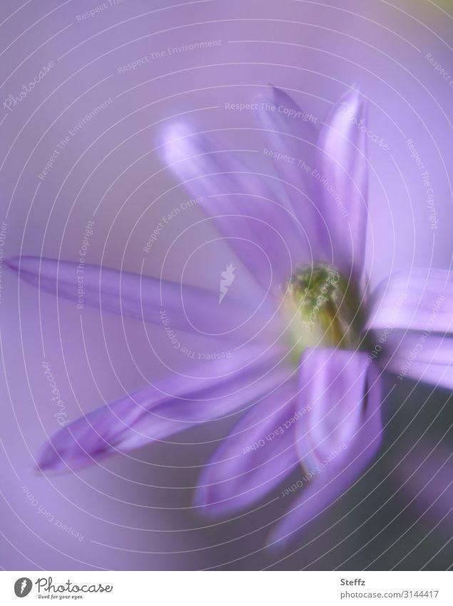 Ein Bienentraum Umwelt Natur Sommer Pflanze Blume Blüte Gartenpflanzen Sommerblumen Blühend nah natürlich schön violett Romantik Unschärfe sommerlich Pastellton