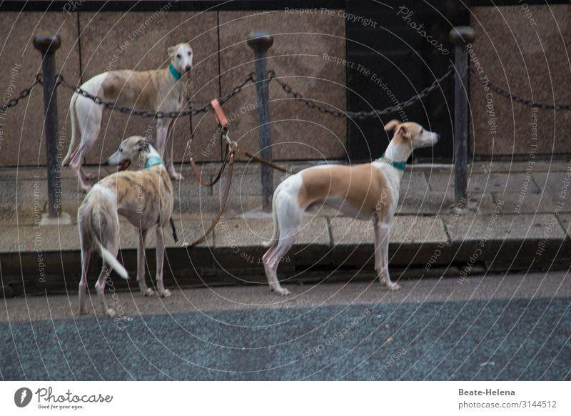 Auf Tokios Straßen Joggen Tokyo Stadtzentrum Mauer Wand Fußgänger Tier Hund Windhund 3 Tiergruppe Bewegung Fitness gehen laufen wandern außergewöhnlich Coolness