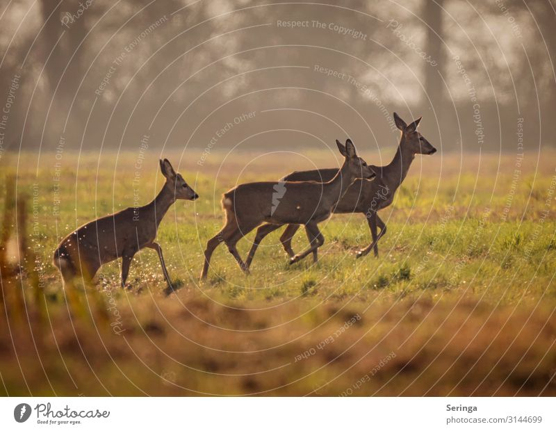 Rehe aus dem Graben kommend Umwelt Natur Landschaft Pflanze Tier Herbst Park Wiese Feld Wald Wildtier Tiergesicht Fell Pfote Fährte 3 Tiergruppe laufen Farbfoto