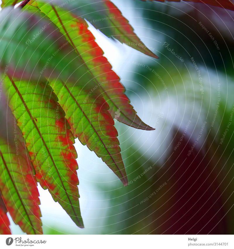 Nahaufnahme von grün-roten Blättern eines Essigbaumes im Herbst Umwelt Natur Pflanze Blatt Blattadern Herbstfärbung Park hängen ästhetisch schön einzigartig