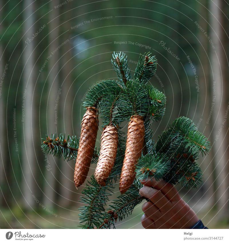 Hand hält einen Tannenzweig mit drei Tannenzapfen, Wald im Hintergrund Weihnachten & Advent Umwelt Natur Pflanze Baum Zweig festhalten hängen ästhetisch