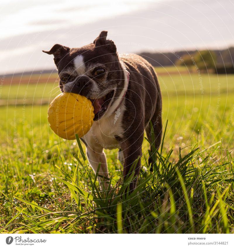Boston Terrier Angel Ballsport Tier Hund 1 laufen Spielen Freundlichkeit Fröhlichkeit Gesundheit Glück sportlich Freude Lebensfreude Bewegung Erholung