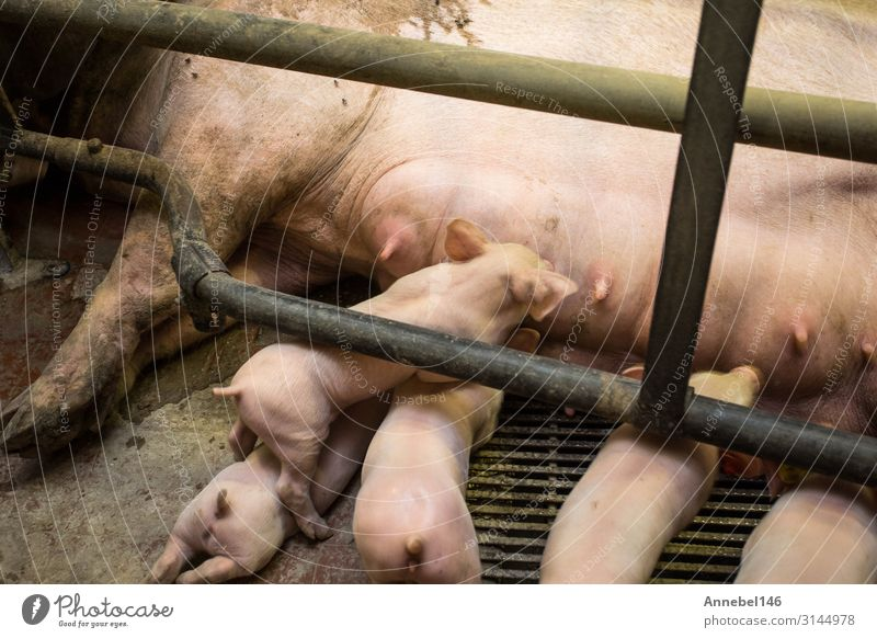 Mutter Schwein im Käfig mit ihren Ferkeln auf einem Zuchtbetrieb. Fleisch Fabrik Baby Erwachsene Menschengruppe Natur Tier Nutztier füttern schlafen Wachstum
