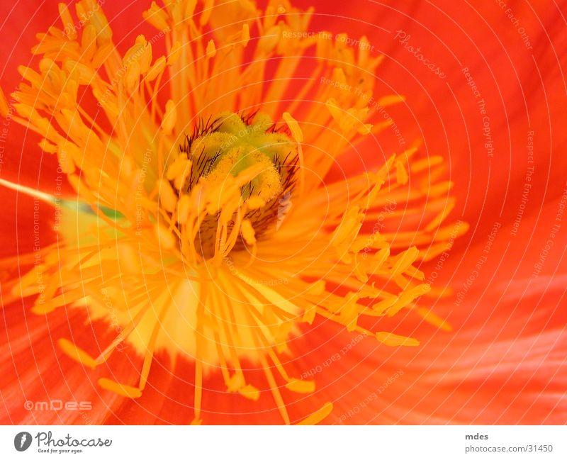 nahaufnahme mohn Blume Mohn Blüte Nahaufnahme