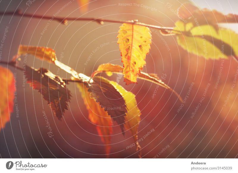 Bunte Blätter im Herbstlicht Natur Pflanze Wetter Schönes Wetter Baum Sträucher Blatt Zweig Garten Park Wald leuchten natürlich Wärme wild weich braun gelb