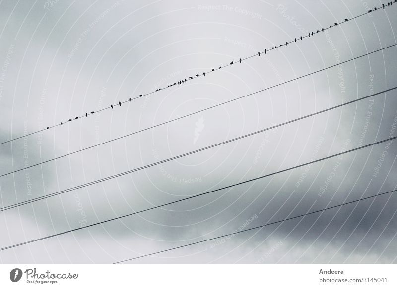 Vor einem grauen mit Wolken verhangenen Himmel sitzen Rabenvögel auf einer von fünf Stromleitungen Energiewirtschaft Umwelt Natur Tier Luft Gewitterwolken