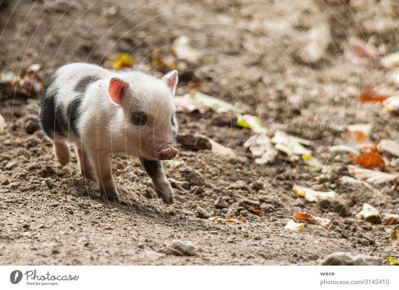 Hanging bellied pig babies play in the mud Natur Tier Tierjunges Bewegung Glück klein Ernährung Fröhlichkeit laufen niedlich Freundlichkeit Neugier Haustier