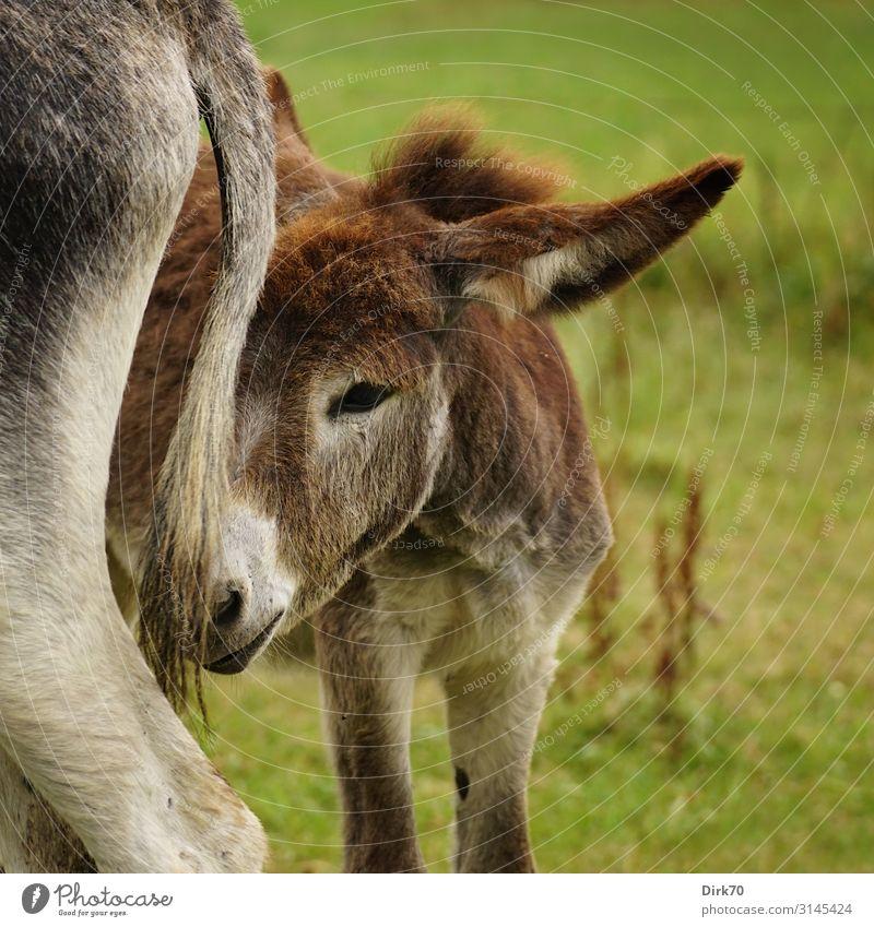 Eselfohlen ... Umwelt Natur Sommer Gras Wiese Weide Pechon Kantabrien Spanien Nordspanien Tier Nutztier Eselstute 2 Tierjunges Tierfamilie Blick stehen klein