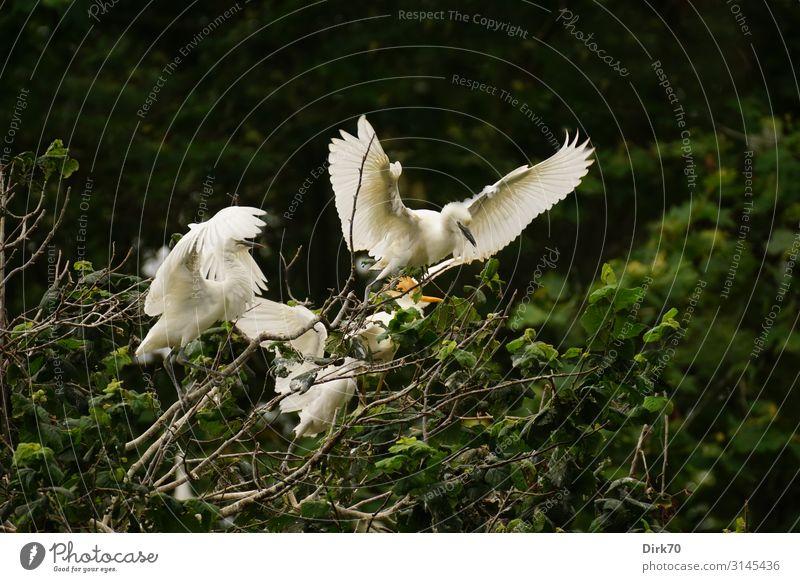 Und Abflug! ... in der Seidenreiher-Brutkolonie. Umwelt Natur Sommer Pflanze Baum Park Wald Santillana del Mar Spanien Kantabrien Tier Wildtier Vogel Flügel