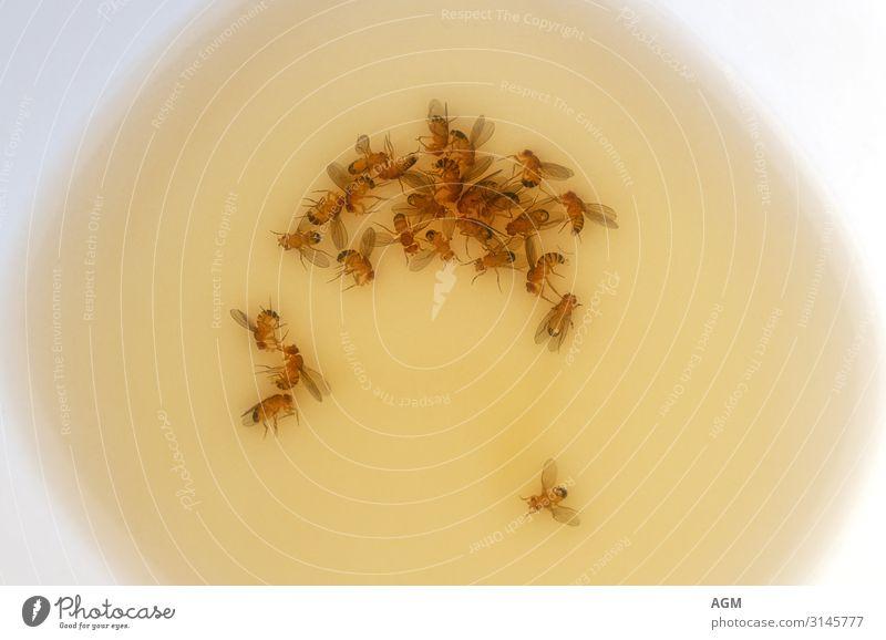 Fruchtfliegenfalle Sommer Natur Totes Tier Fliege Flügel Taufliege Tiergruppe Schalen & Schüsseln Flüssigkeit braun gelb Insekt Köder biologisch Schädlinge