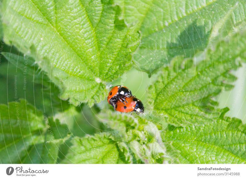 Two little ladybugs on a plant Sommer Garten Natur Pflanze Park Wiese Wald Tier Käfer 2 Tierpaar sitzen insect green red planen grass Schiffsbug ladybird nobody