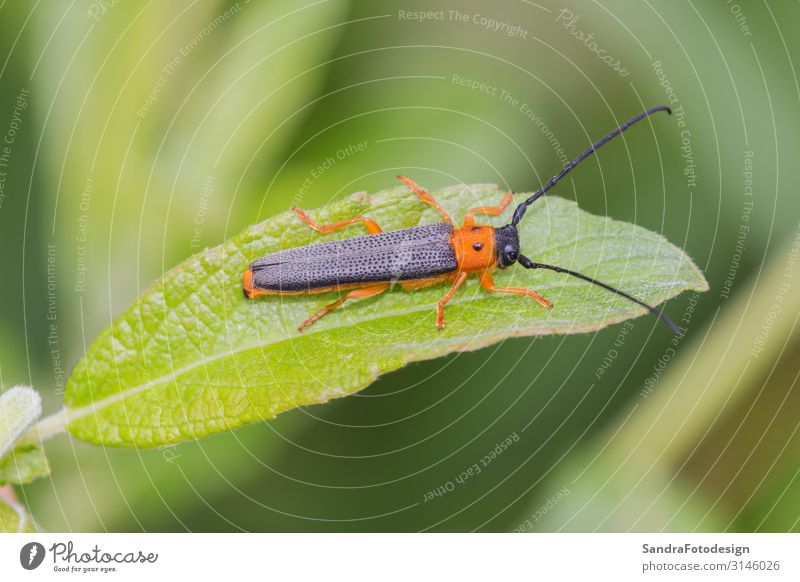 A beetle crawls up on the grass outside Sommer Garten Natur Tier Sträucher Park Wald 1 springen green insect wildlife small leaf pest planen red animal natural