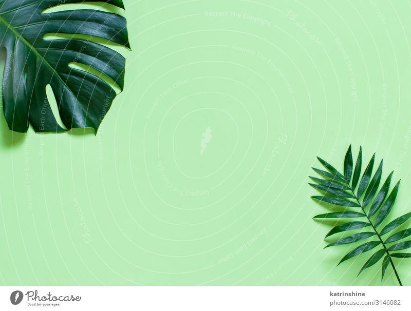 Hintergrund mit Monsterblättern auf einem hellgrünen Hintergrund Design exotisch Ferien & Urlaub & Reisen Sommer Strand Pflanze Blatt Urwald trendy modern
