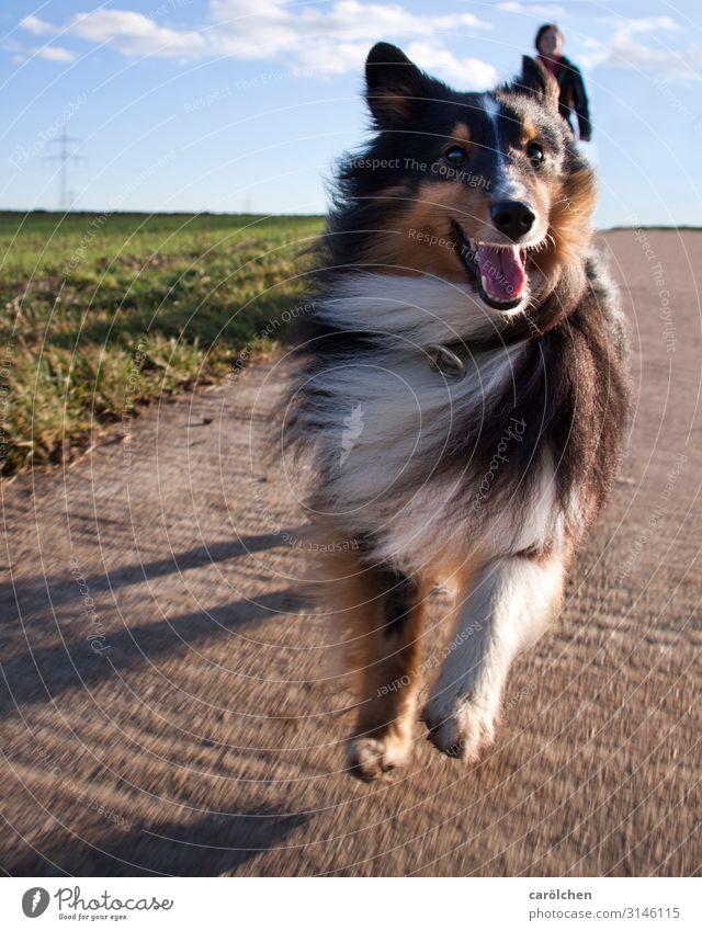 Gassi Haustier Hund 1 Tier springen kleiner Hund Sheltie Lebensfreude Gassi gehen Freude rennen Hundeblick Farbfoto mehrfarbig Außenaufnahme Froschperspektive