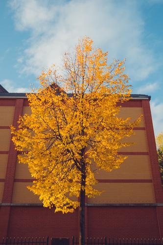 gelb gefärbter Baum im Herbst Natur Stadt Haus Blatt ruhig Wald orange Fassade Vergänglichkeit Spaziergang Jahreszeiten Baumkrone Blauer Himmel