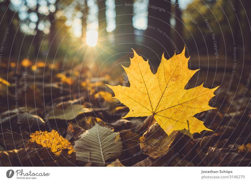 gelbes Ahornblatt auf dem Waldboden ruhig Natur Herbst Blatt achtsam Vergänglichkeit Abendsonne Chemnitz Jahreszeiten Oktober herbstlich orange Gegenlicht