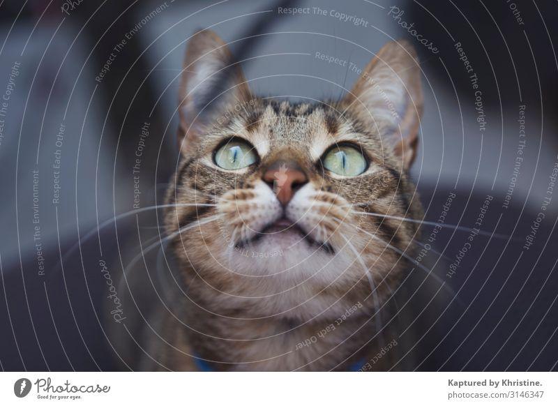 Nahaufnahme Katzengesicht Haustier Tiergesicht Tigerkatze 1 fangen niedlich schön wild grün achtsam fokussieren anstrengen Entschlossenheit Katzen spielen