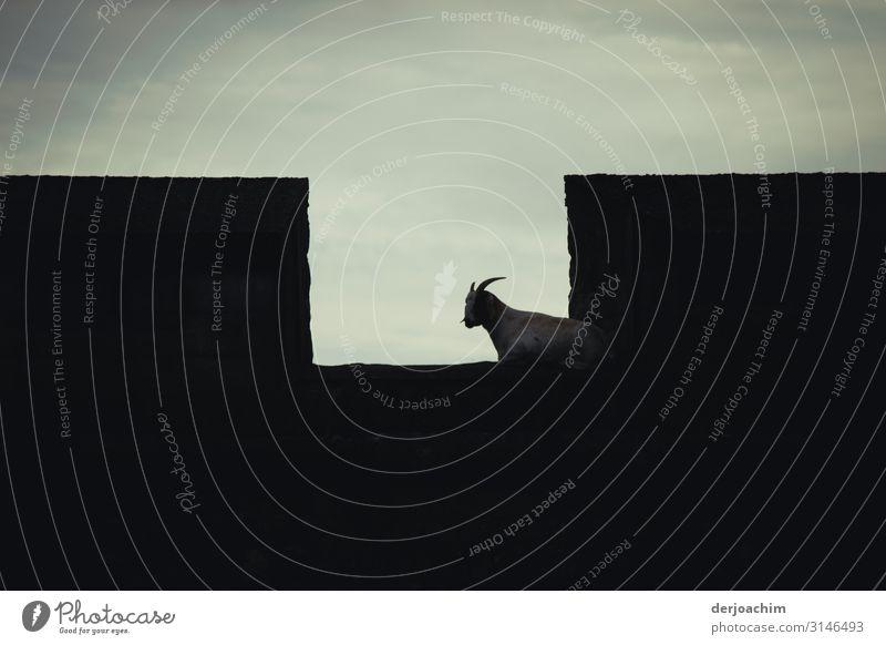 Ziege auf der Festungsmauer Freude harmonisch Ausflug Burg oder Schloss Herbst Schönes Wetter Bayern Deutschland Menschenleer Bauwerk Nutztier Ziegen 1 Tier