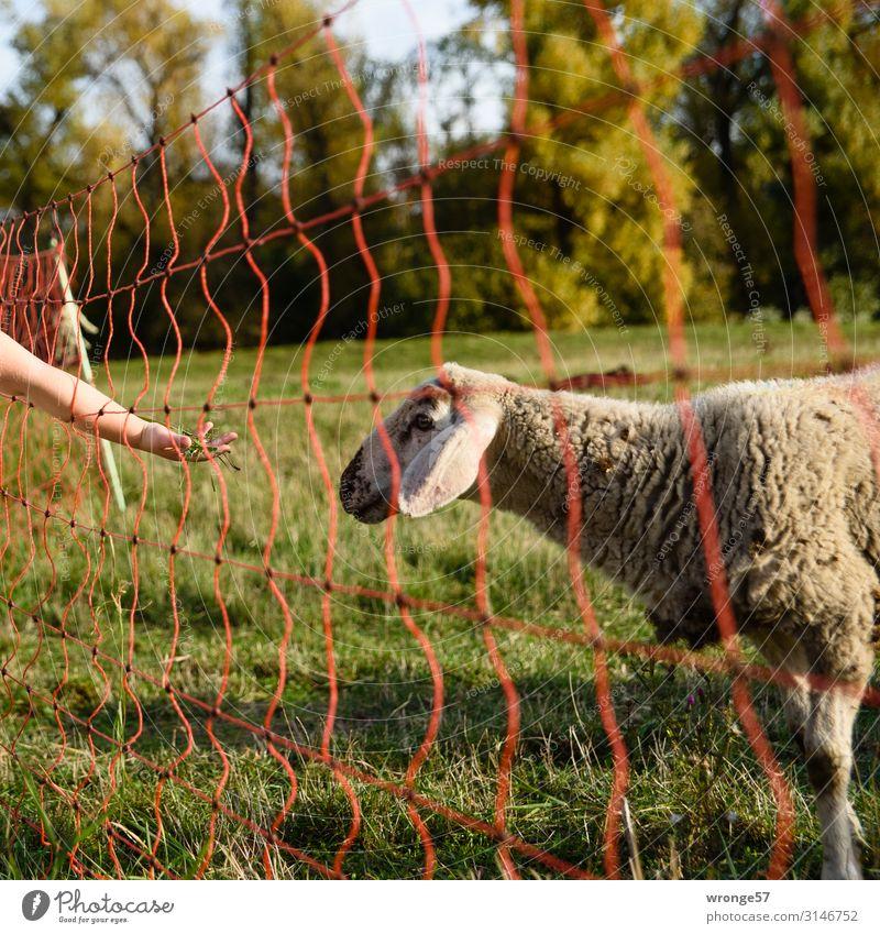 Nahrungsangebot Kind Mädchen Arme Hand 1 Mensch 3-8 Jahre Kindheit Natur Sommer Herbst Gras Wiese Tier Nutztier Schaf füttern braun gelb grün Tierliebe