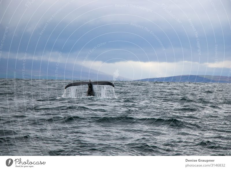 Humpback whale in Iceland tail fin sea Leben Natur Wildtier Freude Glück mammal surface water baleen pacific humpback dive Island blue large splash wildlife