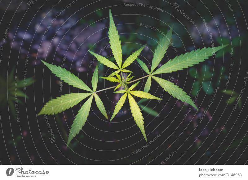 Cannabis plant on dark background Kräuter & Gewürze Gesundheit Rauschmittel Medikament Erholung Natur Pflanze Nutzpflanze Garten Rauchen exotisch natürlich