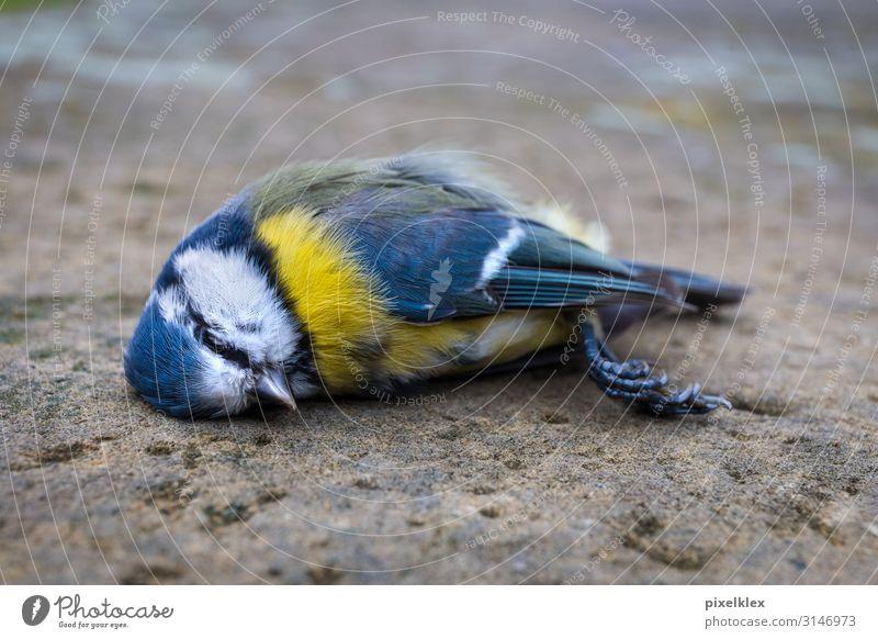 Tote Meise Krankheit ruhig Umwelt Natur Tier Verkehrsunfall Straße Wildtier Totes Tier Vogel Meisen Sperlingsvögel 1 liegen schlafen Traurigkeit Stadt blau gelb