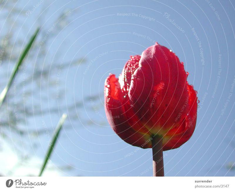 Nach dem Regen Tulpe Blume Seil