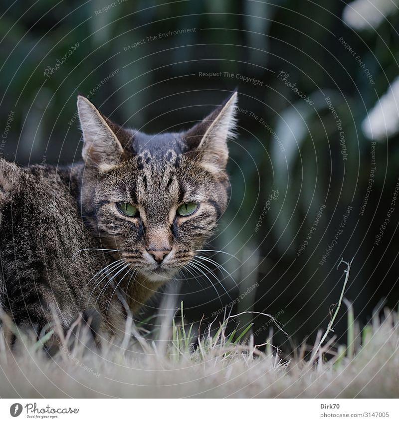 Der Tiger im Garten Natur Sommer Gras Sträucher Sommerflieder Park Wiese Bremen Tier Haustier Katze Tigerkatze Tigerfellmuster Angesicht zu Angesicht 1 Jagd