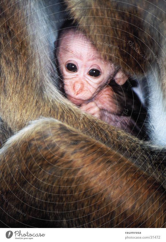 Affenbaby Affen Sri Lanka