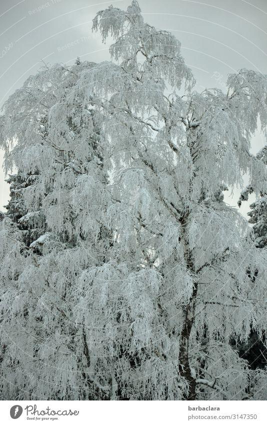 Eisiger Winterbaum Pflanze Urelemente Himmel Frost Schnee Baum Wald frieren stehen ästhetisch kalt blau weiß Stimmung bizarr Klima Natur Überleben Umwelt