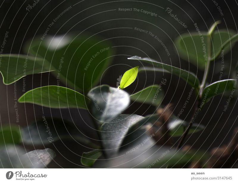 Das neue Bonsai-Blatt Zimmerpflanze Umwelt Natur Pflanze Frühling Baum Grünpflanze Topfpflanze Garten leuchten Wachstum authentisch Freundlichkeit klein