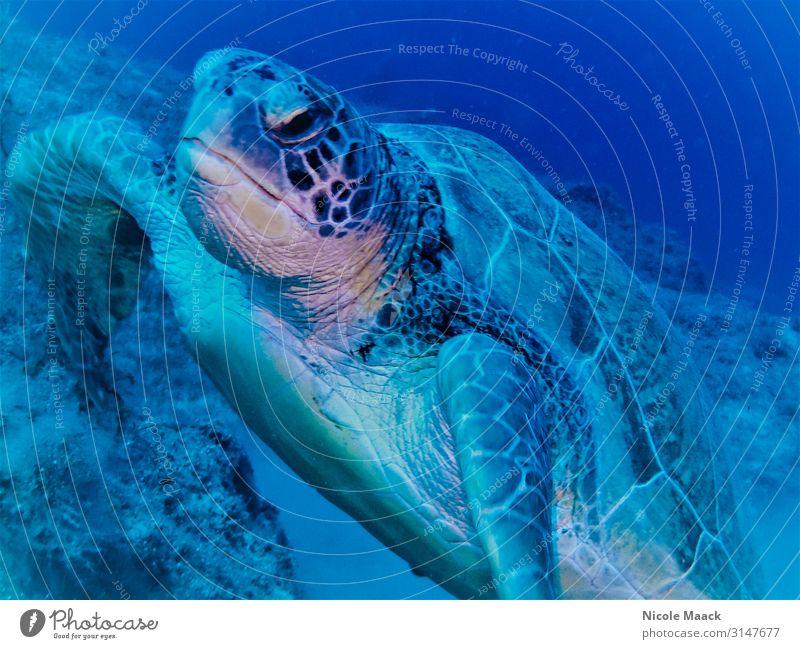 Schildkröte Natur Wasser Wildtier 1 Tier tauchen blau Farbfoto Außenaufnahme Detailaufnahme Unterwasseraufnahme Blitzlichtaufnahme Tierporträt Blick nach vorn