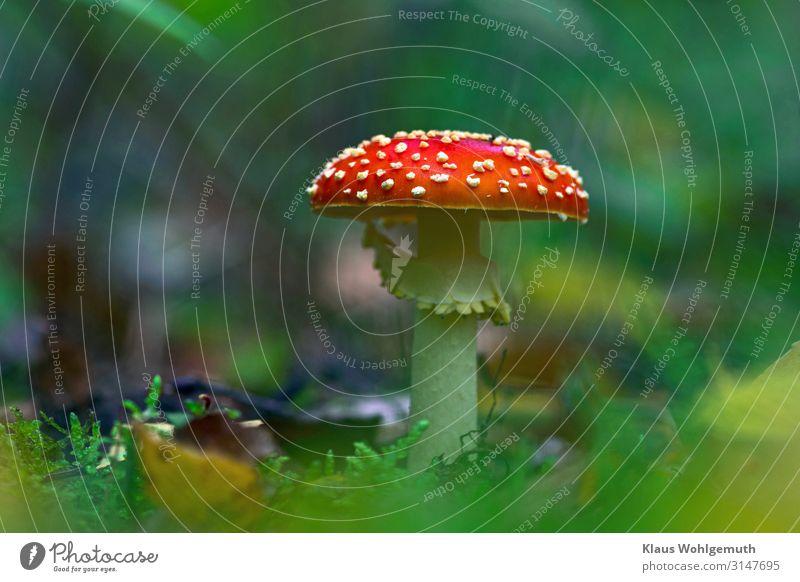 Fliegenpilz im Herbstwald, Froschperspektive Umwelt Lebensmittel Natur Pflanze Moos Wald Wachstum ästhetisch exotisch schön blau braun gelb rot weiß Gift
