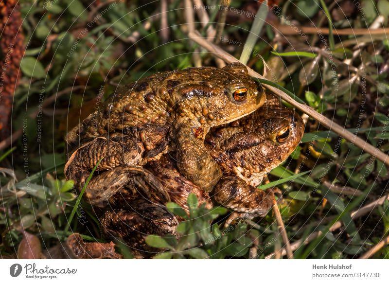 Kröten, die im Gras Liebe machen. Tier Frosch Unke 2 Brunft Zusammensein braun mehrfarbig gold grün Gefühle Frühlingsgefühle Romantik Erotik Lust Farbfoto