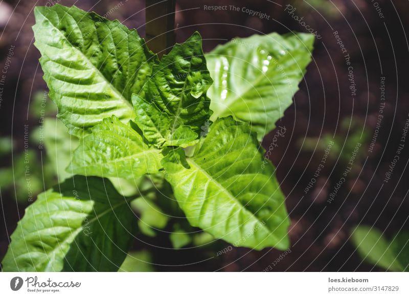 Basil plant in bird eye's view Kräuter & Gewürze Sommer Natur Pflanze Blatt Nutzpflanze Blühend Essen basil herb gardening food fresh green leaf organic spice