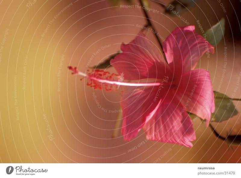 Hibiskus Blume Hibiscus Farbkomposition